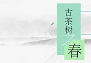 【专题】古茶树之春