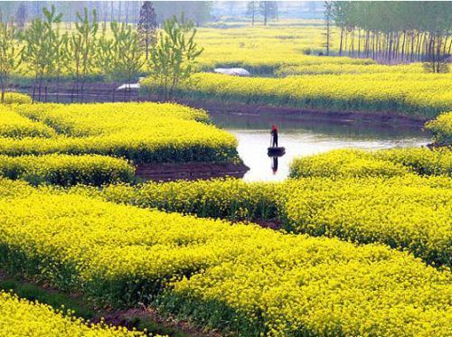 """油菜花开出遍地""""黄金"""" 农旅融合,带动瑞安乡村振兴"""