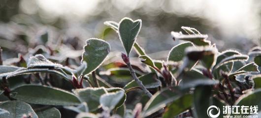 临安:气温破冰点 植物披霜花