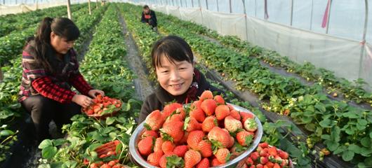建德:头茬草莓畅销市场