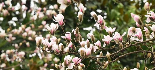 玉兰花开了 春天还会远吗?