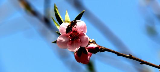 热如初夏,皋亭山的桃花等不及啦