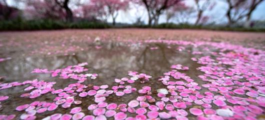 杭州一夜回冬 雨后梅花落满地