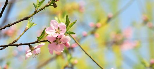 西湖桃花朵朵开