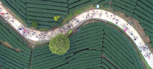 徒步万亩茶园 畅游美丽乡村