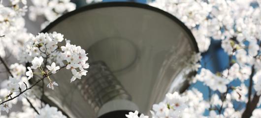 浙江大学樱花正盛开 春意盎然饰校园
