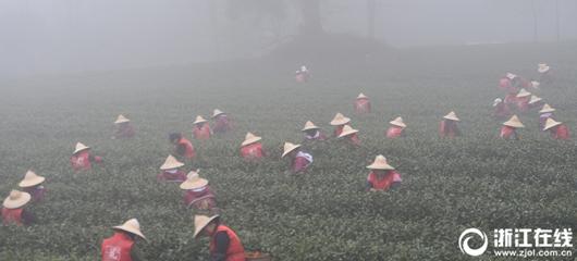 杭州大雾弥漫 采茶工浓雾中采摘春茶