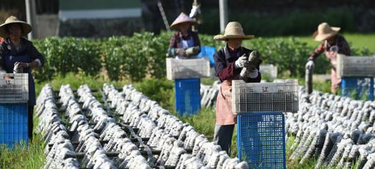 富阳:采收鲜木耳 菌渣肥稻田