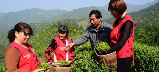 建德:巾帼志愿者 采茶助茶农