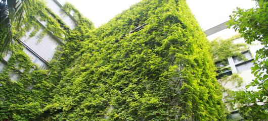 浙江农林大学:爬山虎成景观 建筑被绿色包围