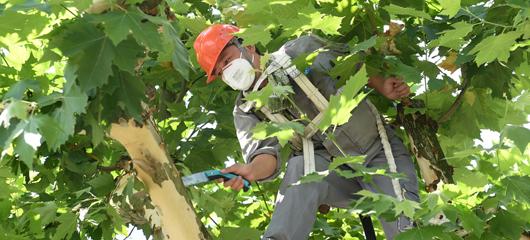 入伏首日 杭州西湖景区工人修剪梧桐树