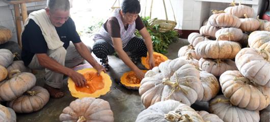 富阳阔板南瓜籽身价高 每斤可卖一百元