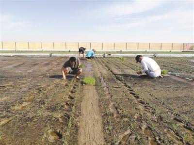 中国农业科学家在阿联酋沙漠中种出海水稻 图图片 219076 400x299