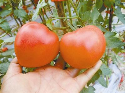 """澳门赌博场网址:""""儿时口味番茄""""种出来了!______浙江科技新闻网"""