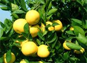 【专题】胡柚也能卖出天价 农业科技创新让梦成真