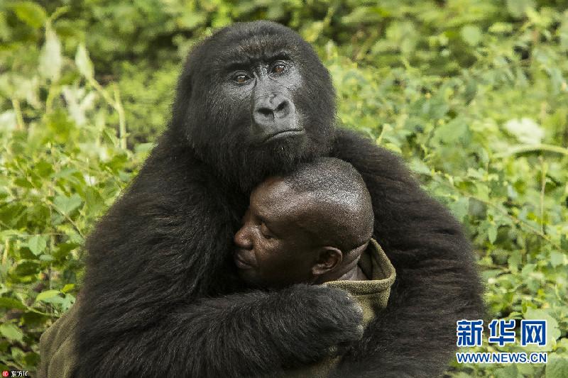 金沙线上娱乐场导航:刚果大猩猩霸道总裁上身_把饲养员揽进怀里熊抱