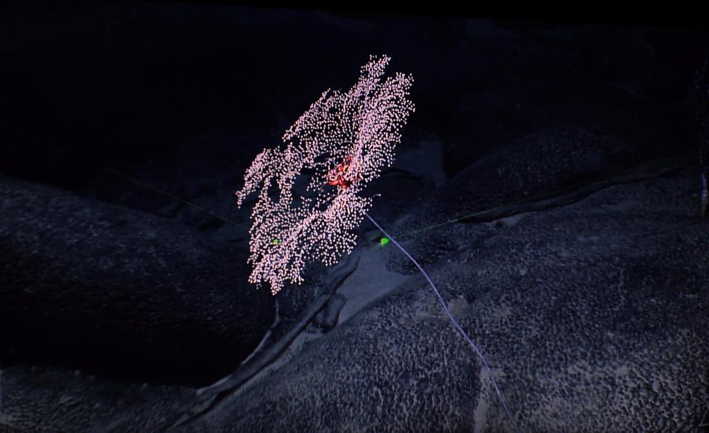 一株金柳珊瑚附着在麦哲伦海山的富钴结壳上(4月12日摄)。 新华社记者 张建松 摄