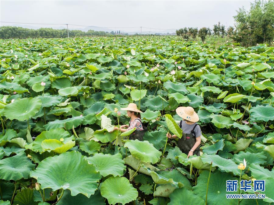 """(社会)(1)浙江湖州:美丽""""荷花池""""助力乡村旅游"""
