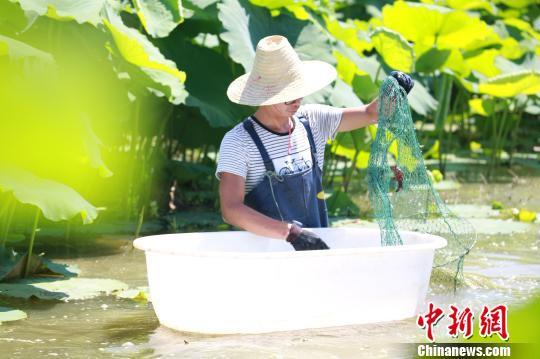 """""""网红""""小龙虾引进广西农田养殖虾农捞虾忙"""