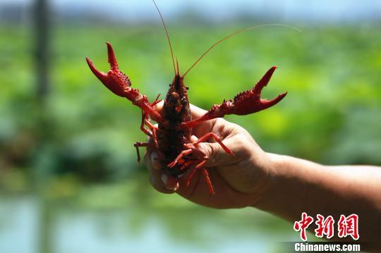 虾农展示小龙虾。 朱柳融 摄