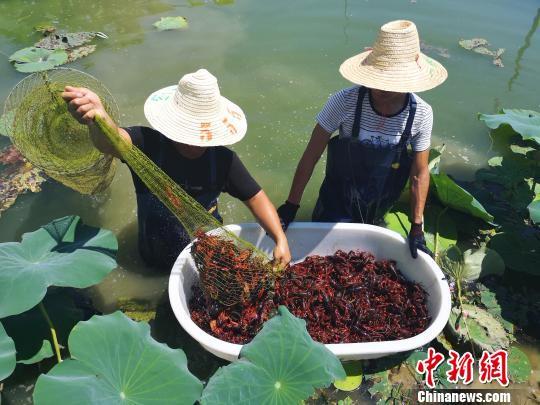 虾弄将小龙虾导入盆中。 朱柳融 摄