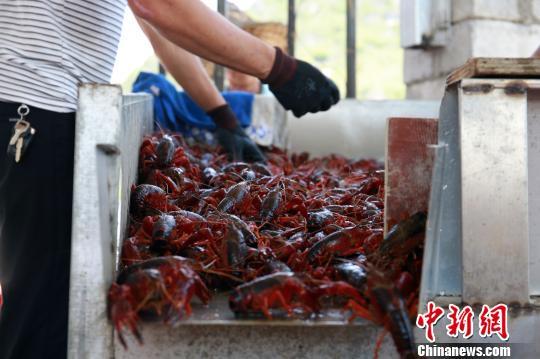 虾农正在分拣小龙虾。 朱柳融 摄