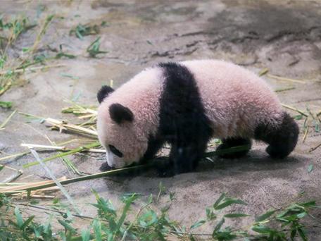 """大熊猫香香成日本网红""""主播"""" """"小使者""""塑造中国亲和力形象"""