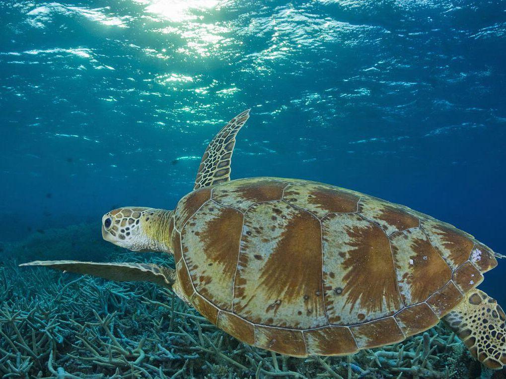 震惊!绿海龟可能在百年后灭绝 原因竟然是这个……