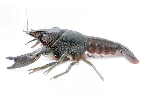 """变异小龙虾攻陷大半个欧洲 """"吃货""""的狂欢来了?醒醒吧!"""