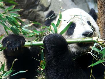 大熊猫为啥啃了几百万年竹子?科学家:其能量源是淀粉果胶等