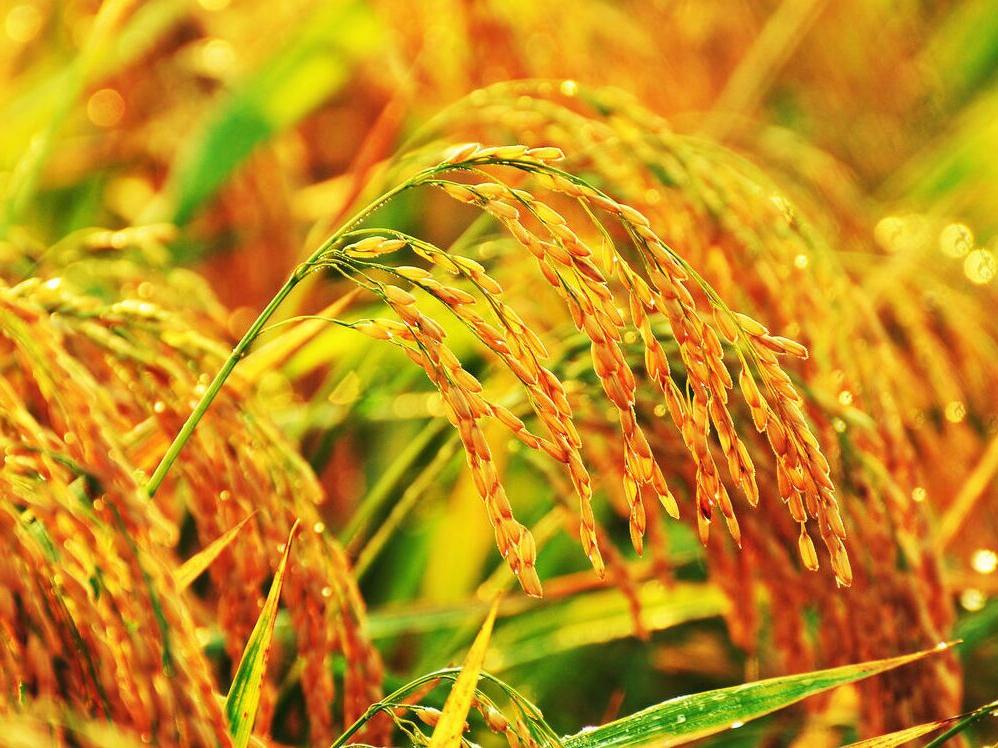 为何我们吃的米饭越来越没有营养?原因竟是这个……