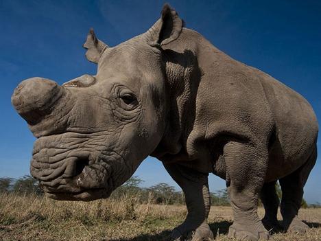最后一头雄性北方白犀牛离世 绝种之际突现转机