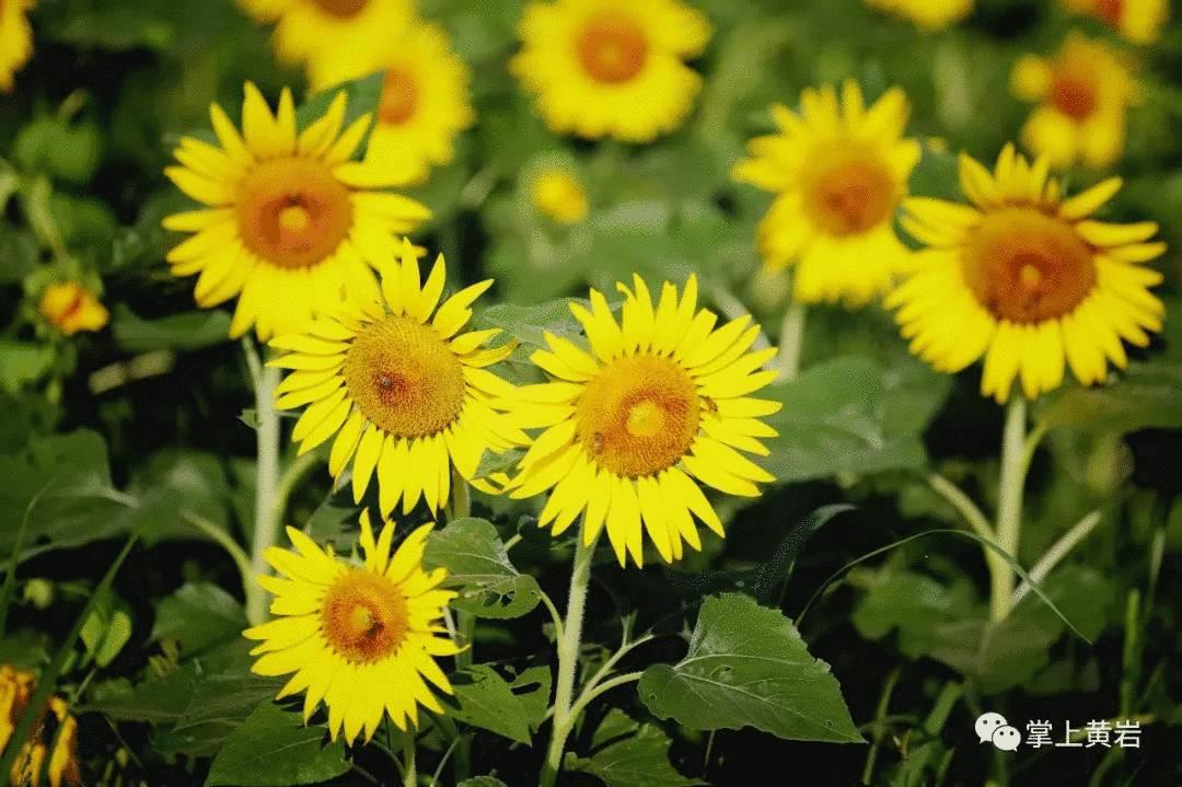 要火!黄岩江心屿遍地的向日葵正在盛开,再不去就晚了