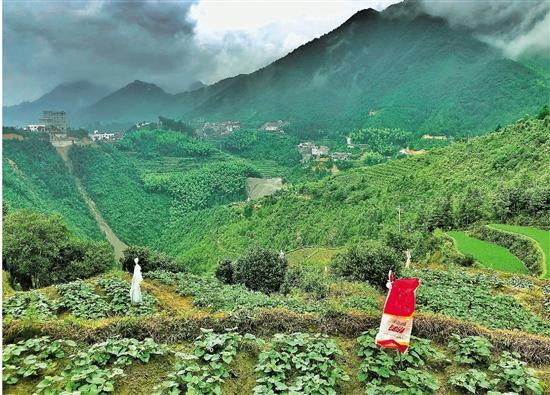 一根番薯条撬动千万大产业 遂昌柘岱口乡的创富之路