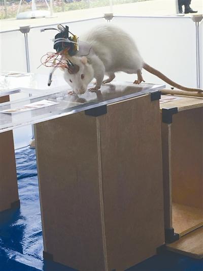 """大开眼界!白鼠装上智能芯片变成""""动物机器人"""