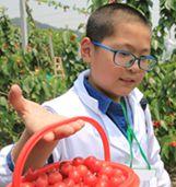 活动二:提着小篮儿采樱桃喽!