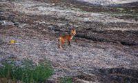 邂逅野生狐狸 收获环保知识