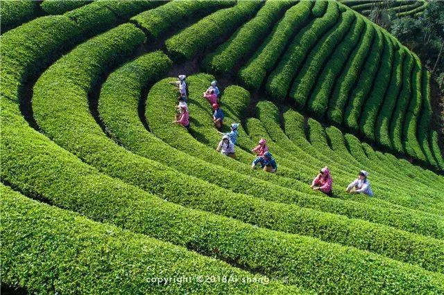 到茶乡武义,与春与茶来一次亲密接触