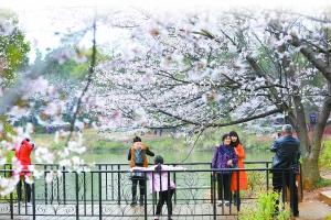 樱为你美 第十一届南昌樱花节开幕