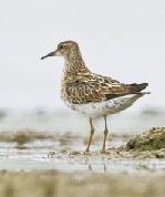 近10个种群100多只�a鹬鸟抵达杭