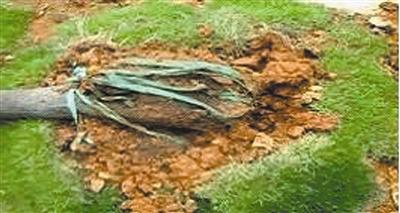 龙湾永中一安置房小区为了验收建 临时绿化带