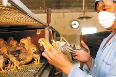 禽流感阴影下的浙江家禽养殖业