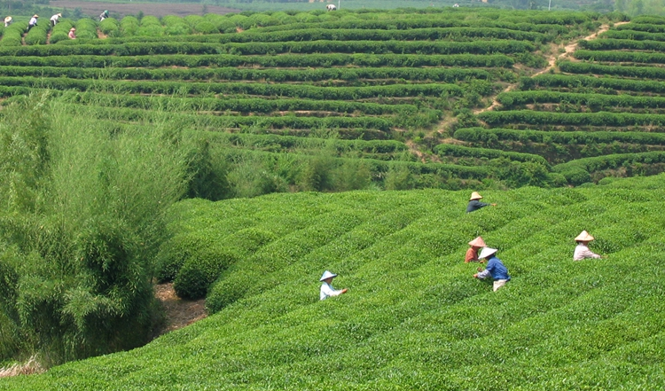 青山绿水间的松阳茶园