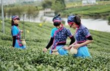 茶叶进入采摘期,茶农一早卖茶青