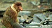 这只长鼻猴为何能做猴王