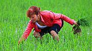 田里种着秧苗她为啥要拔掉?