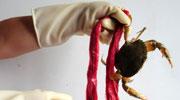 这根红绳能抵一只蟹!