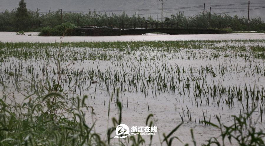 台风临近 台州三门梅岙村水稻田变汪洋