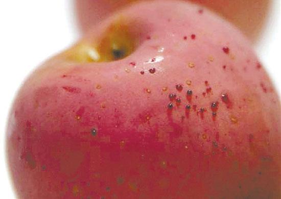 """苹果""""冒血""""是色素析出"""