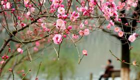 灵峰和孤山的梅花欲放又止